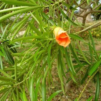 Yellow oleander | Thevetia peruviana