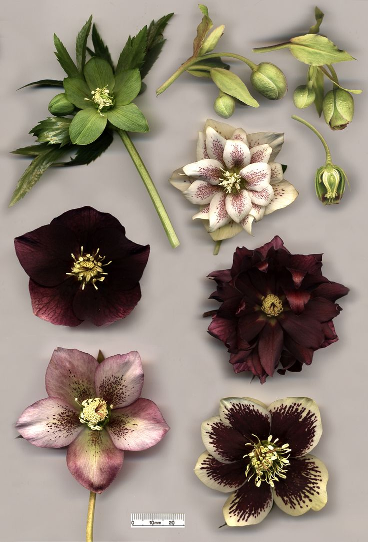 Hellebore species and hybrids [Genus: Hellleborus; Family: Ranunculacea]: Helleborus viridis (top left); H. foetidus (top right) with cross-section; flowers of various specimens of H. × hybridus, including doubles