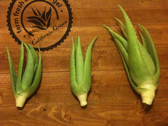Bare Root Aloe Vera Plants Are The Ideal Product For The