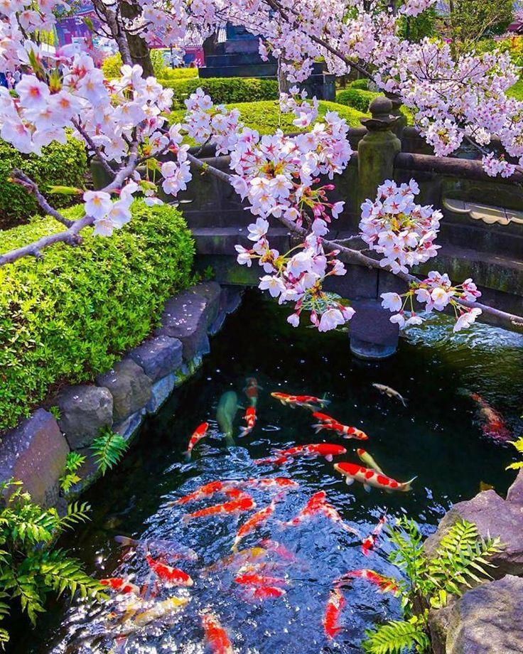 Cherry Blossom in Asakusa, Japan