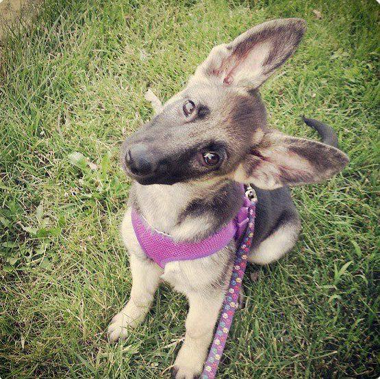 Rosie The German Shepherd Puppy At 3 Months Gsd Puppies Puppies