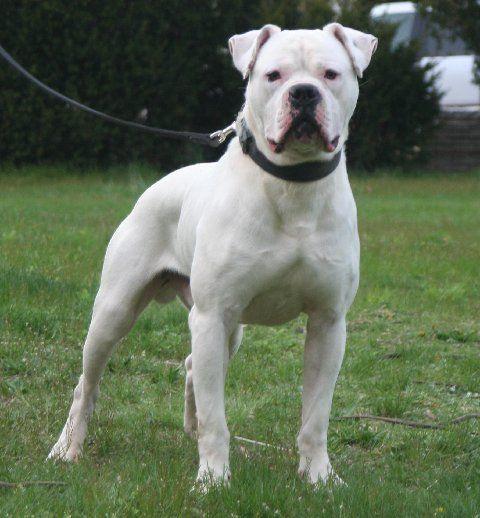 bulldog breeds | Slammer_slammer.jpg