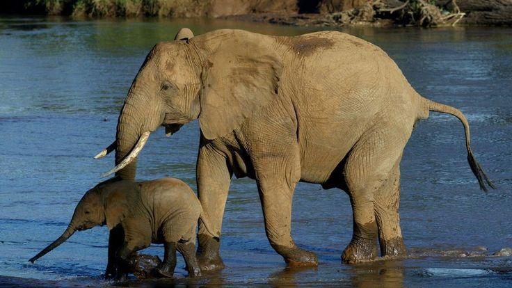 """La """"histórica"""" prohibición del comercio de marfil en China que puede salvar a los elefantes"""