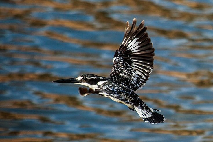 Pied Kingfisher by Pat Cooper