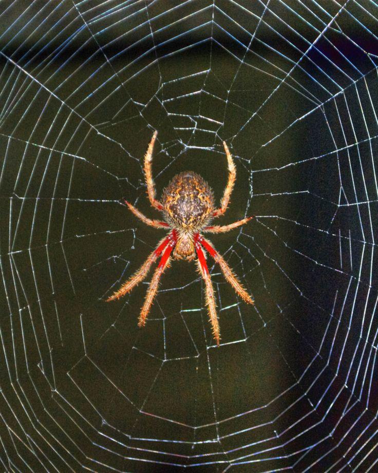 Image Result For Garden Spider