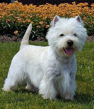 West highland white terrier is a small body size, playful, coordinated, purposeful terriers, has a good artistic temperament, very proud, strong body structure, chest and back waist deep, back straight, - See more at: http://www.k9studfinder.com/all-dog-breeds.php?&dog=West%20Highland%20White%20Terrier&id=44#sthash.cbNs1ePL.dpuf