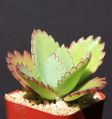 Kalanchoe-daigremontiana-mexican-hat-plant-rare-succulent-exotic-cactus-cacti-2