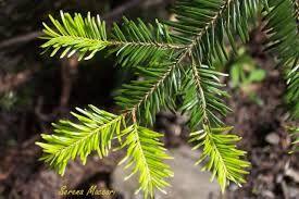 Abete, caro ad Artemide.  Uno degli alberi legati al Novilunio Simbolismo, botanica, Spagyria e Fitoterapia, curiosità