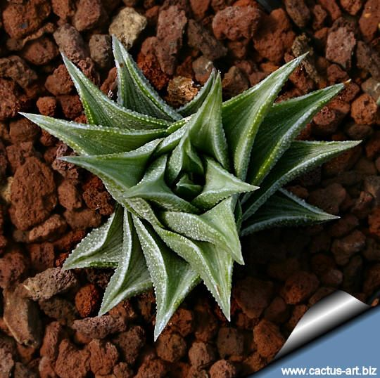 36 best images about haworthia on pinterest