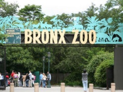 The Bronx Zoo, located outside of Manhattan, is the largest urban zoo in the world. The Bronx Zoo holds over 600 species and guests can be educated on every single one of them with the Zoo's award winning education department. Come see the newest exhibit, Madagascar! Take a trip through Madagascar to see elegant tigers, fierce crocodiles, and giant gorillas. The Bronx Zoo also has the Congo Gorilla Forest, Wild Asia Monorail, Tiger Mountain, Himalayan Highlands, and Baboon Reserve.