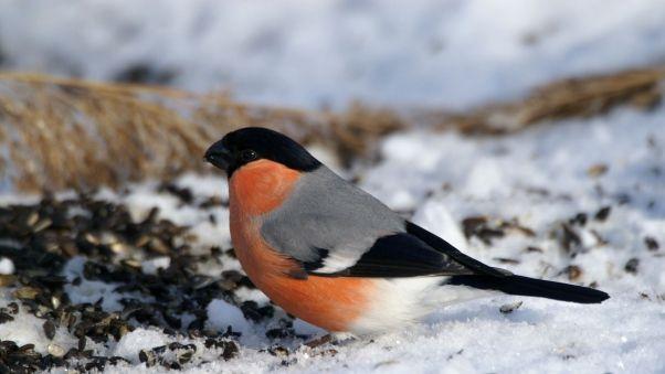 Wallpaper bullfinch, bird, snow, sit, color