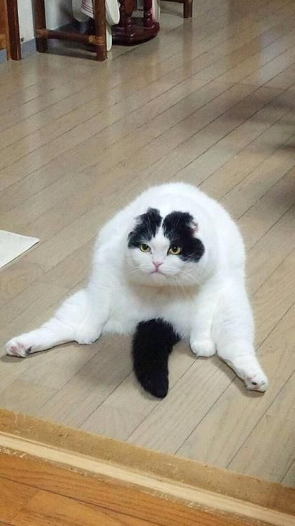 This cat is clearly not having it, but we're amused! #cathumor #grumpycat #Catposture