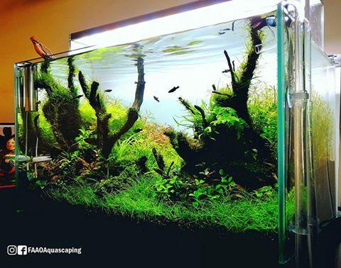 Corner view of Filipe Oliviera's 80L planted tank after a few adjustments and trimming.   Powered by Aquaflora and Aqvainnova plants.  #FAAO #Aquaflora #Aqvainnova #Aquascaping #planted #aquarium #aquatic #plant #freshwater #plantedtank #aquascape #plantedaquarium #Ecoarium #Seachem #Twinstar #Dici #Chihiros #aquavitro