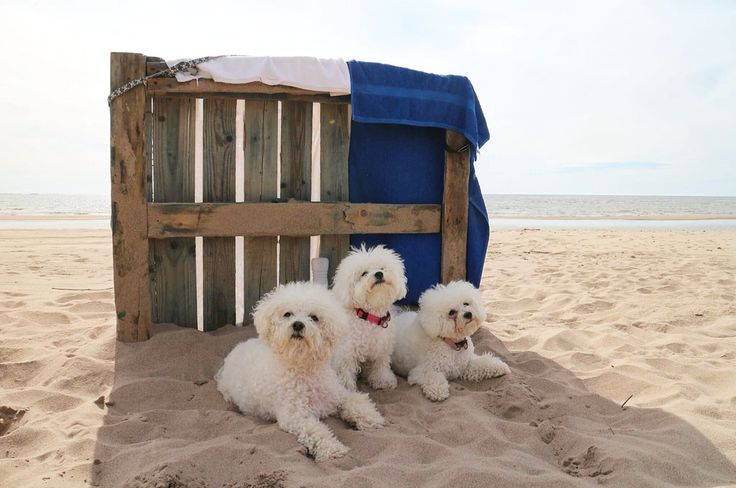 Elsa&Alma 🐾 friends on the beach ❤️ Bichon frise 🐾