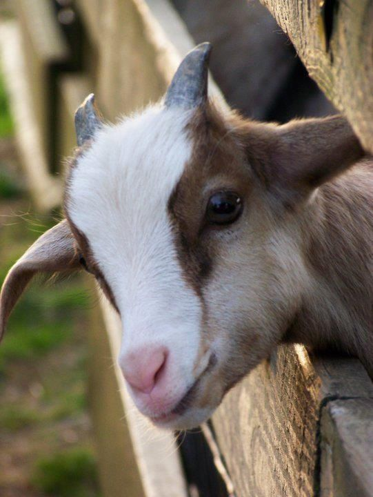 """A Baby """"Billy"""" Goat:  """"Hello!  I saw you coming down the lane; would you have any nice snacks for me to eat please?"""""""