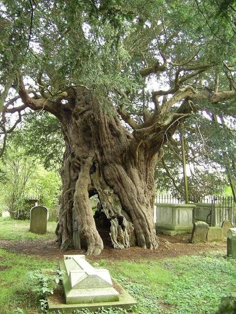 """In some types of Christianity, yew is planted around graveyards not only to remind visitors of eternal life but to keep the dead from wandering from their graves before Judgment Day. Some Norse Pagans believed that precisely because yew stood between two worlds, it could trap unwary souls inside itself. Burning yew as an incense is still a traditional means for raising the dead and thus in a sense, entrapping them."""