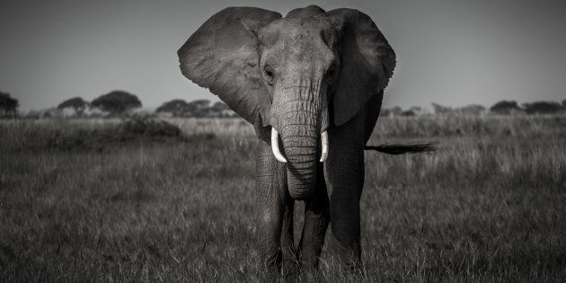 This morning, two tonnes of ivory have been crushed in Central Park. Well done, NY. Everytime we destroy ivory, we destroy the trade. Read more in my piece on @HuffPostAU and how these events mark a clear change in the tides.  #africa #ivorycrush #elephant #wildlife #conservation #banivorytrade