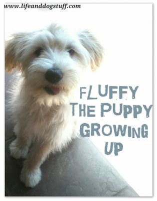 Fluffy the Puppy Growing Up at Life and Dog stuff blog!