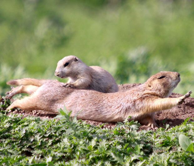 prairie dog massage