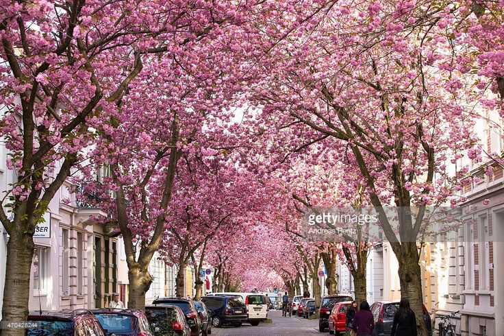 Blooming cherry blossom trees are pictured in the historic district on April 20, 2015 in Bonn, Germany. The ornamental japanese cherry blossom trees were planted in the 1980's and became yearly a popular attraction in North Rhine-Westphalia.
