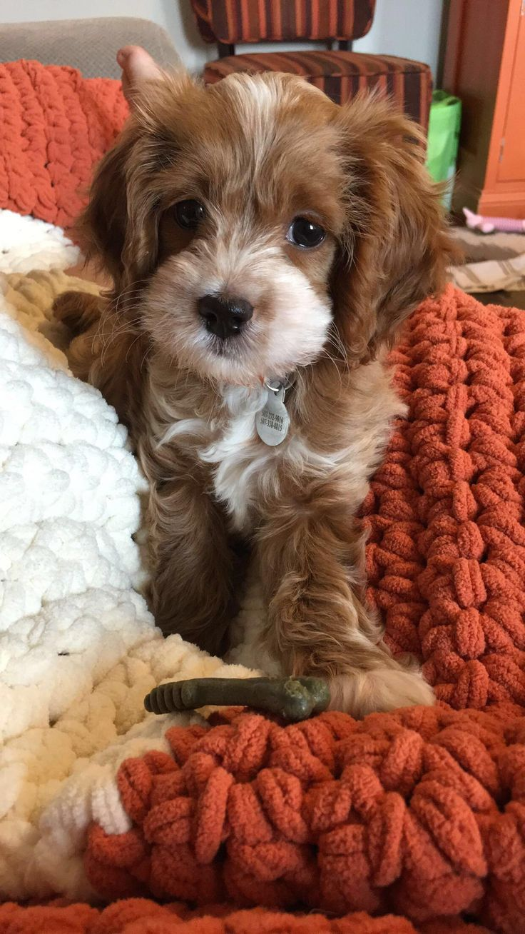 Reddit....meet Penny! My sweet little cockapoo pup :) http://ift.tt/2pszULj