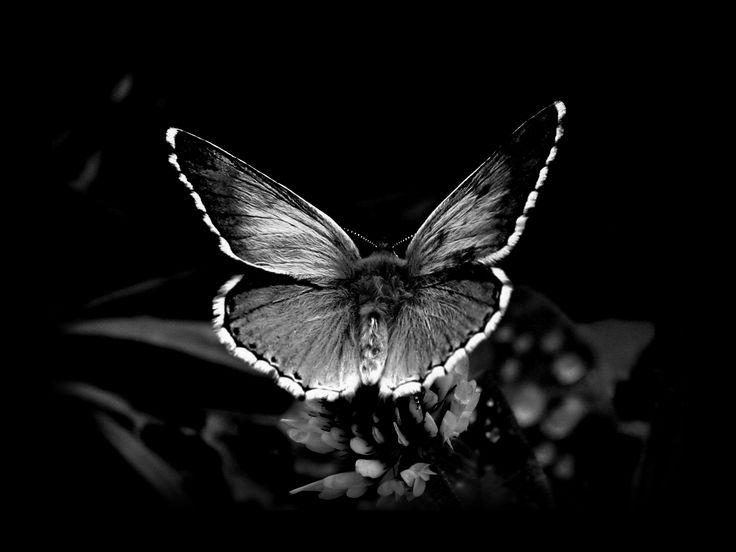 Un papillon c'est beau en Noir et Blanc @Christian Wilsson Radmilovitch @Carol Markel Delva #LaVieEnNoir avec @Piaget