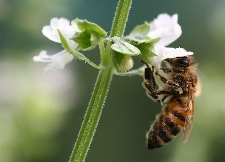 wikicommons  Honigbiene an Basilikumbluete 2006 08 - Apis mellifera - Wikimedia Commons