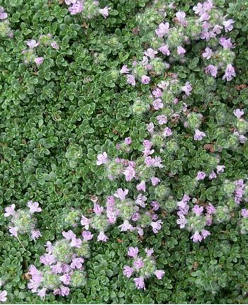 1000 Ideas About Thymus Serpyllum On Pinterest Drought