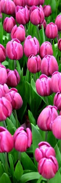 #tulips, my favourite would be red ones because they represent the bond of eternal love.