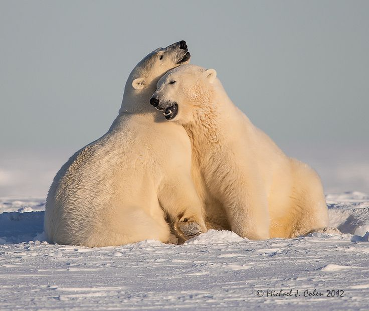 17 best images about polar bears on pinterest baby. Black Bedroom Furniture Sets. Home Design Ideas