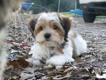 shih-tzu/Yorkie mix dog picture