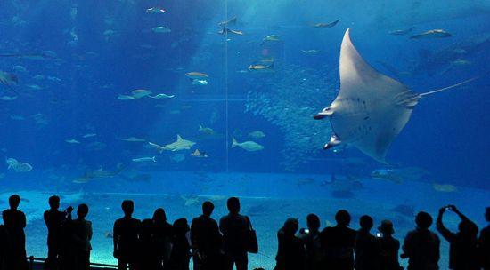 7 animais quase inofensivos, porém muito assustadores: jamanta , que é parente das arraias e tubarões e pode medir 8 m de envergadura , se alimenta de plâncton e pequenos peixes .