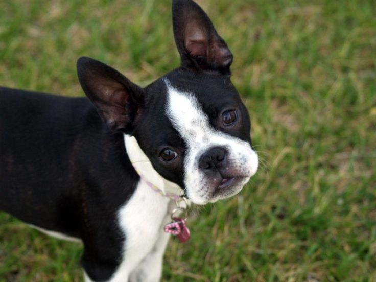 15 Best #Small Dog #Breeds for #Indoor Pets ...