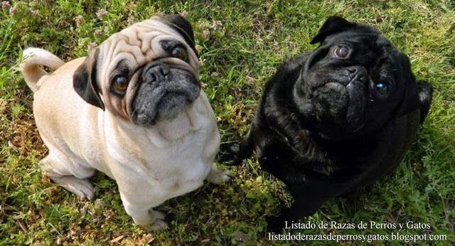 Foto de la raza de perro Carlino (Photo of the Pug dog breed) (vacunas para prevenir enfermedades, que vacunas son obligatorias, las vacunas son obligatorias, calendario vacuna prevenar, vacuna prevenar calendario, calendario vacunal, cuadro vacunacion, calendario vacunación, vacunas 12 meses, vacuna prevenar)
