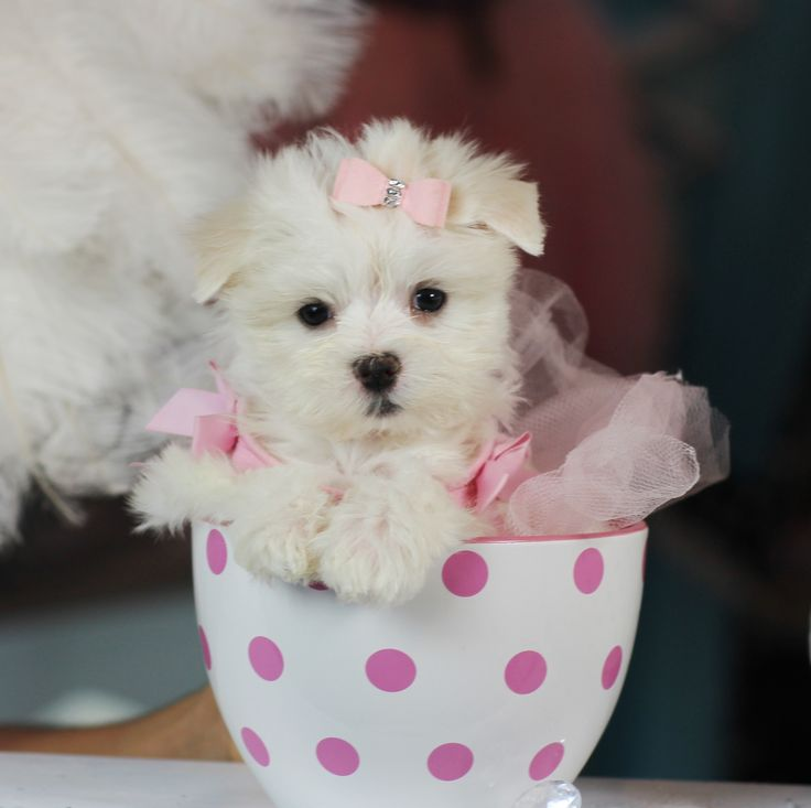 Teacup Maltese! ♥♥♥ Bring This Perfect Baby Home Today