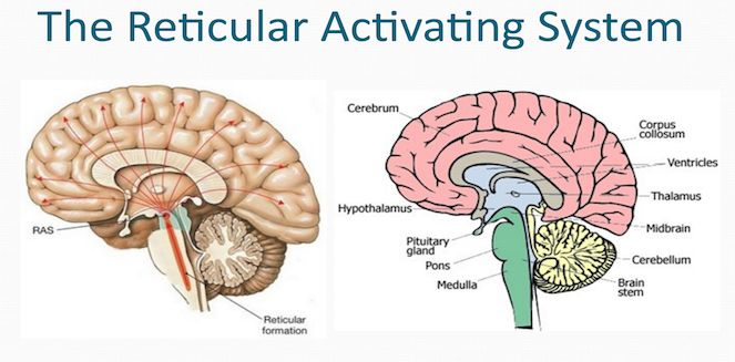 Functions of Reticular Activating System (RAS) | Brain | Neurology