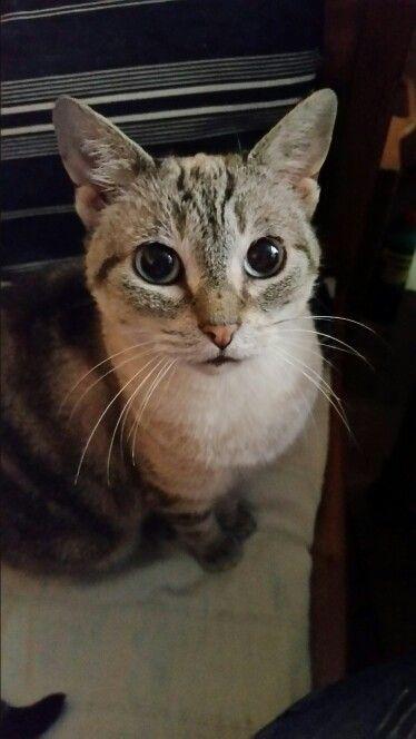 Tamika, Thaikatze  aus dem Tierheim  in Portugal