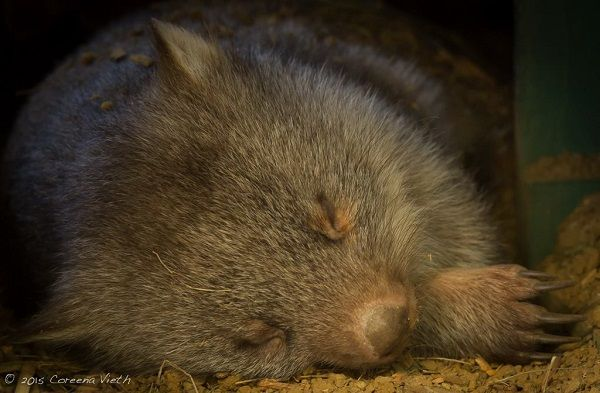 Wildlife Photography Workshop with @shutterbugwalks at Bonorong Wildlife Sanctuary #Hobart #Wildlife #Tasmania Photo by Coreena Vieth, article for think-tasmania.com