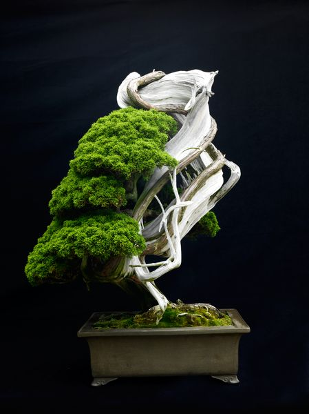 The shape of this 500-year-old sargents juniper in an antique Chinese container has a sculptural form. Not all bonsai present images of large mature trees growing naturally.Photograph by Jonathan Singer