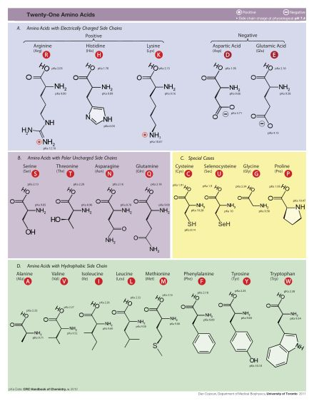 Amino Acids: biologically important organic compounds made from amine (NH2) & carboxylic acid (COOH) functional groups along with a side-chain specific to each one; key elements are C, H, O, N w/ other elements in side-chains; about 500 known aa's