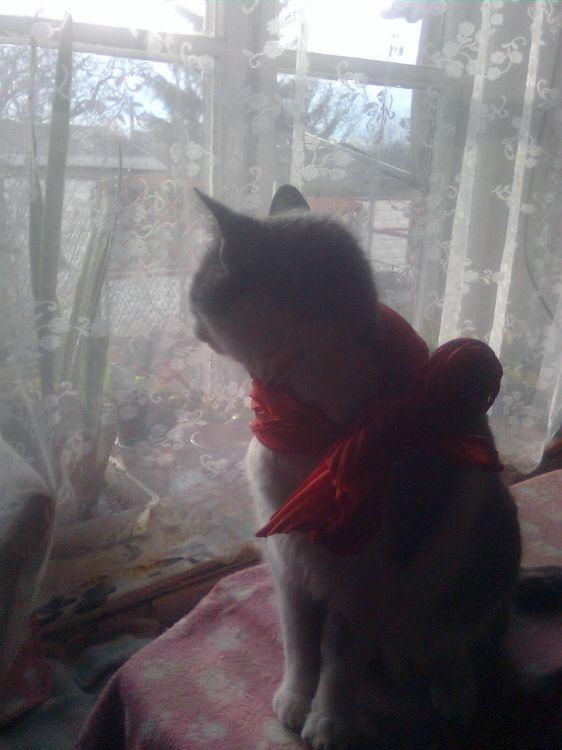 Szürke cica piros sállal