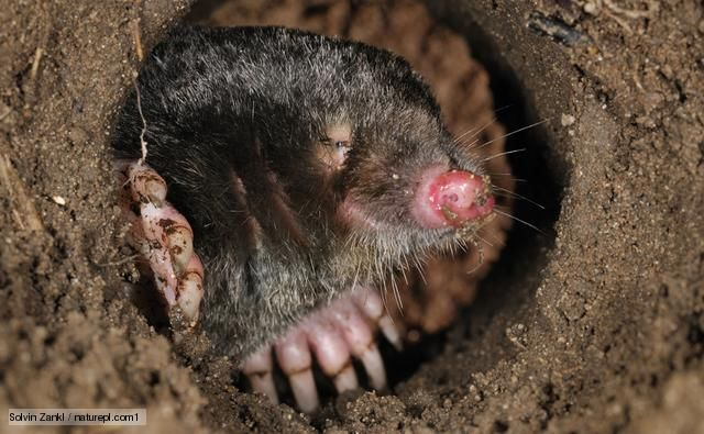 Mole Peering Out Of Its Burrow Animal Homes Pinterest