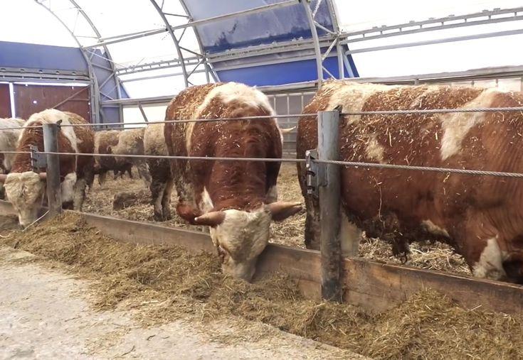 Мясное скотоводство как прибыльный и имеющий высокий спрос бизнес!   Мясное скотоводство как бизнес  В целом можно смело утверждать, что на сегодняшний день мясное скотоводство является самым проблемным сегментом отечественного животноводства. Во всяком случае, если принимать в расчет только стратегически важные отрасли. Производство растет гораздо более медленными темпами, чем, например, в свиноводстве или птицеводстве, а в отличие от молочного скотоводства здесь нет таких щедрых дотаций от…