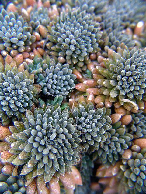Sedum indicum - looks like some sea creature