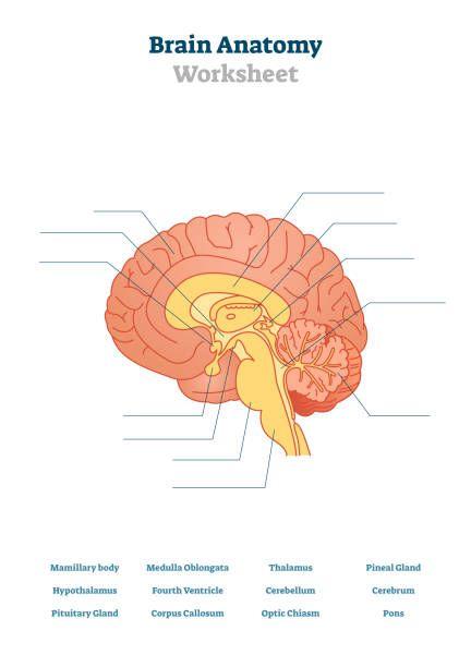 Hypothalamus Illustrations, Royalty-Free Vector Graphics ...