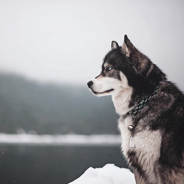 Such A Stunning Husky At A Frozen Lake Husky Fur Babies