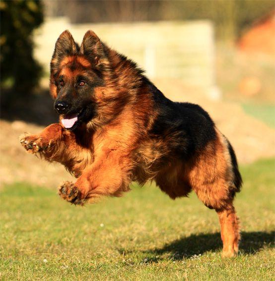 Altdeutscher Schäferhund / Deutscher Schäferhund Langhaar