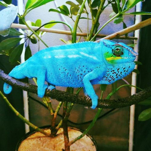Exotic Live Veiled Chameleons, Hand-Nurtured and Feed