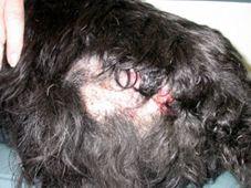 SkinVet Clinic FAQ - Pyotraumatic Dermatitis | Veterinary Dermatology and Allergy Issues