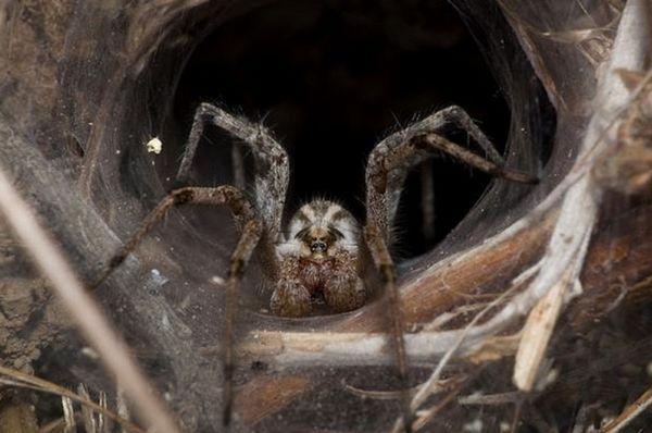 Aranhas-reclusas . Encontradas no sul dos Estados Unidos e no oeste da América do Sul, essas aranhas são consideradas bastante venenosas. Por sorte, nós não precisamos nos preocupar muito com elas, já que suas presas são bem pequenas e não conseguem penetrar nas roupas de tecidos mais finos – restando somente alguns pobres animais de vítimas para elas.